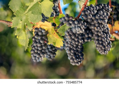 Bunches of Shiraz grapes on the vine
