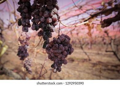Bunches of sluggish grape on plantation, closeup