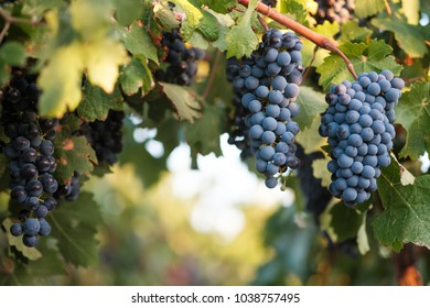 Bunches of Syrah red wine grapes on vine with green leaves and beautiful evening glow in background.