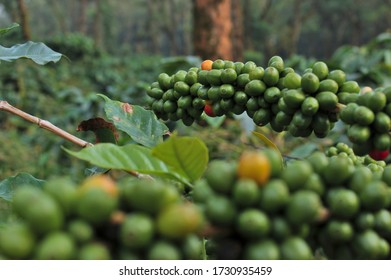 Bunches of unripe coffee berries in a plantation in Coorg, Karnataka, India