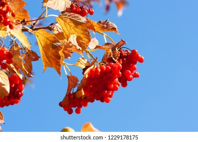 Bunches of viburnum on blue sky background