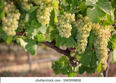 Bunches of white wine grapes on arched vine branch.