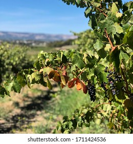 Bunches of wine grapes on vines, South Australia