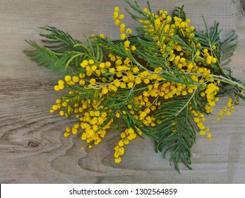 Bunches of yellow mimosa flower on wooden background. Mimosa flowers yellow bouquet present for birthday or womans day in march. Mimosa flowers bunch symbol of spring. Acacia dealbata, silver wattle