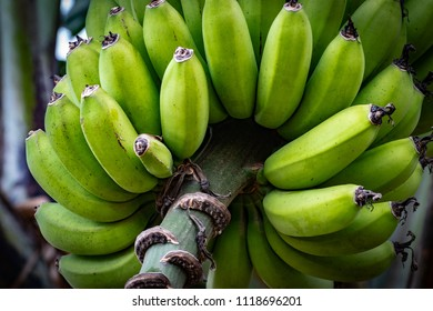 Bunches of young green bananas hanging from tree on tropical Caribbean island. Can be cooked and eaten when green, or eaten as a fruit when ripe.