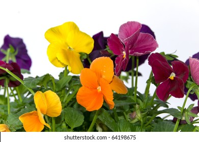 Bundle of colorful pansy flowers on isolating white background