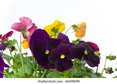 Bundle of colorful pansy flowers on isolating background