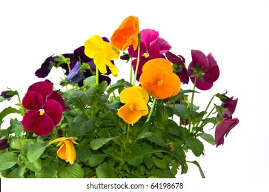 Bundle of colorful pansy flowers in a pot on isolating white background