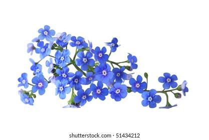 Bundle of fresh blue forget me not flower