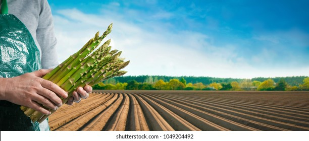 Bundle of green asparagus in hands of a farmer in front of asparagus field in spring