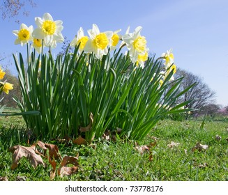 bundle of white-yellow Daffodils