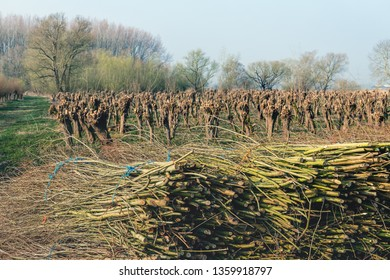 Bundled osiers in the foreground of a field with recently pruned pollard willows. The photo was taken in the Dutch nature reserve Biesbosch, North Brabant. It is springtime now.