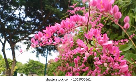 Bunga Pengantin Images Stock Photos Vectors Shutterstock