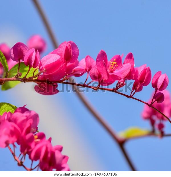 Bunga Air Mata Pengantin Antigonon Leptopus Stock Photo