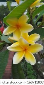 Bunga Kamboja Kuning Images Stock Photos Vectors Shutterstock