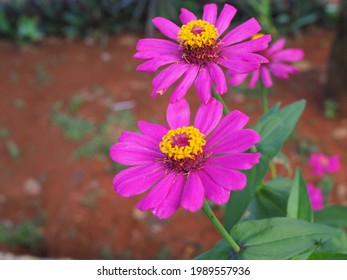 Bunga Kertas Zenia or Zinnia flower,  a genus of plants of the sunflower tribe within the daisy family Close up and selective focus.