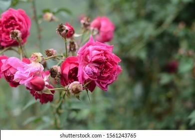 1000 Bunga Mawar Stock Images Photos Vectors Shutterstock