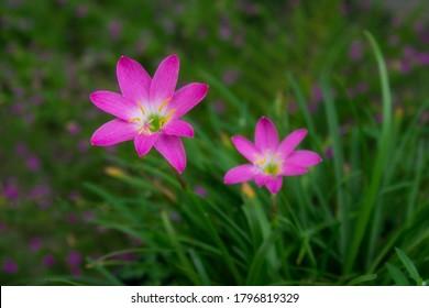 Bunga Rain Lily, Tumbuhan ini juga dikenal sebagai bunga lili peri, bunga hujan, bunga zephyr atau lili hujan. Tanaman ini berasal dari bagian tropis Amerika selatan dan Amerika utara