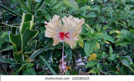 bunga sepatu, salah satu bunga yang mulai jarang ditemukan di indonesia. dulu biasanya tanaman ini digunakan untuk pagar rumah oleh masyarakat desa.