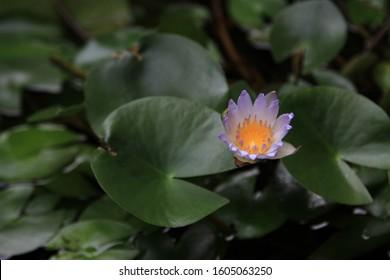 Teratai Images Stock Photos Vectors Shutterstock