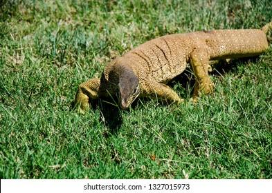 A Bungarra or Racehorse Goanna (Moniter Lizard) comes close in Western Australia