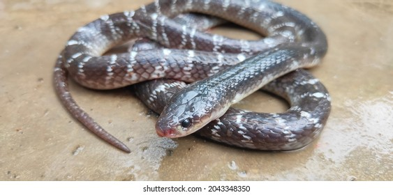 Bungarus caeruleus  or Kalach snake in a coil  - one of the neurotoxic venomous snake in Indian subcontinent