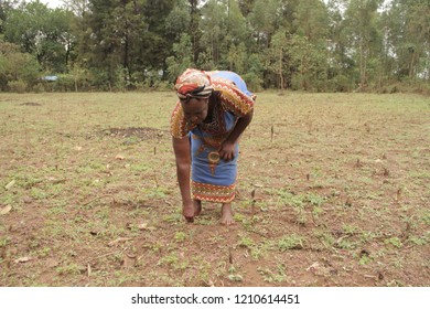 Bungoma County/Kenya-03/16/2018 The woman in the picture is assesing her land where she practices conservation agriculture by minimum tillage in Bungoma County in Kenya.
