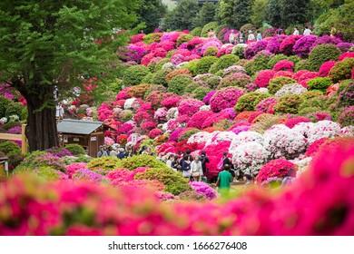 Bunkyo ward/Tokyo,Japan April 24, 2019  Bunkyo Azalea Festival is an annual flower festival held at Nezu Shrine.