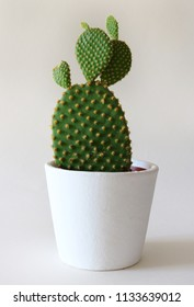 Bunny Ears Cactus isolated on bright background in a white planter