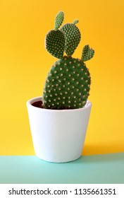 Bunny Ears Cactus in a white pot, isolated on a colored bright yellow and turquoise background.