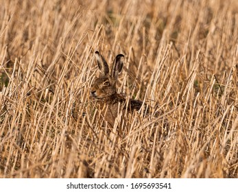 Bunny sitting behind high dry grass difficult to spot