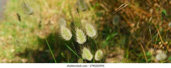 Bunny tail grass with beetle in summer day. Rural landscape of French Nouvelle-Aquitaine. Natural background is suitable for greeting card design, poster, postcard template. High resolution photo