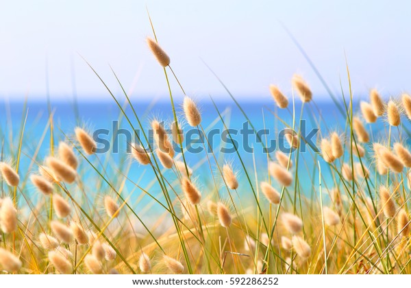 Bunny Tails Grass Lagurus Ovatus at the beach