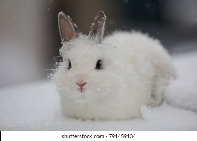 bunny,white rabbit on snow, hare in winter