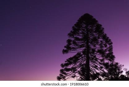 Bunya Pine in the dusk sky