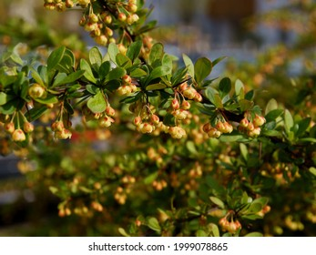 burberry japonica bush with yellow flowers at spring