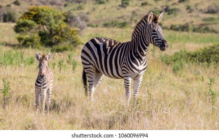 Burchell or Plains Zebra Mom and Foal