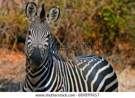 92e73feb7 Burchell Zebra (Equus quagga) looking into camera while chewing on dried  grass