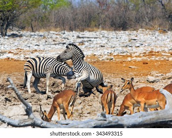 Burchells (common) Zebra - Equus quagga -playing on a rough rocky terrain in Africa