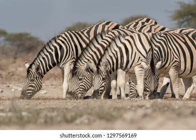 Burchell's Zebra (Equus quagga burchellii) - Waterhole Group