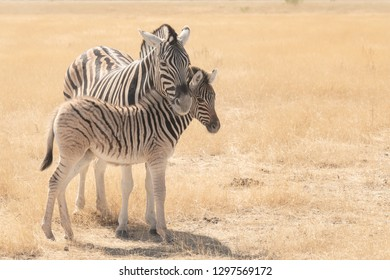 Burchell's Zebra (Equus quagga burchellii) - My Baby
