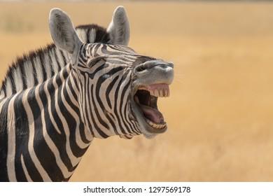 Burchell's Zebra (Equus quagga burchellii) - That's Funny