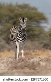 Burchell's Zebra (Equus quagga burchellii) - Pause For Thought