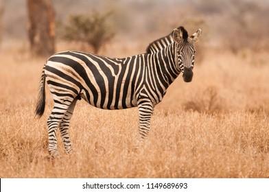 Burchell's Zebra (Equus quagga) in Kruger  National Park.