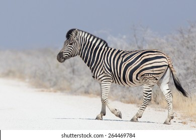 Burchell's Zebra (Equus quagga) walking in Etosha national park Namibia