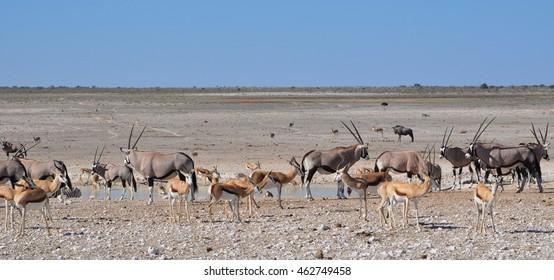 Burchell's zebra, gemsbok and springbok sharing a watering hole in Etosha national park in Namibia Africa