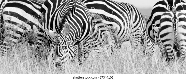 A burchell's zebra herd on the Masai Mara during the Great Migration (black & white).