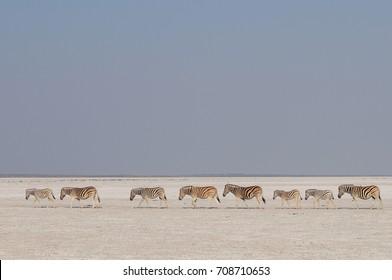 Burchell's zebra herd in a salt pan, etosha nationalpark, namibia, equus burchelli)