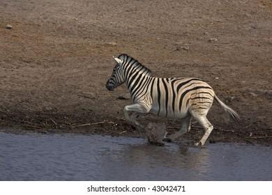 Burchells zebra jumping out of waterhole ; Equus Burchelli