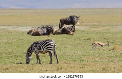Burchell's Zebra with Wilebeast and Thomson's gazelle, image taken on Safari located in the Ngorongoro National p